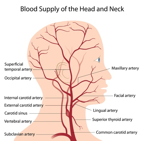 nerveux: L'approvisionnement en sang de la t�te et du cou Illustration
