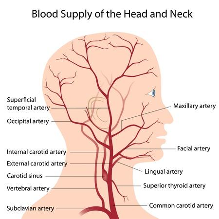 vasos sanguineos: Suministro de sangre de la cabeza y el cuello