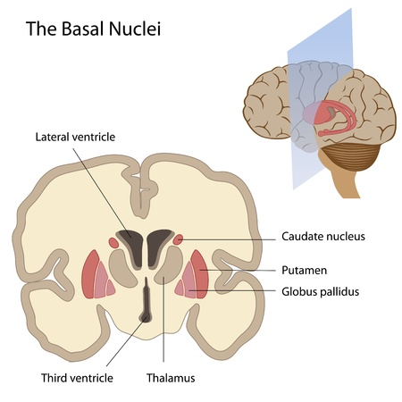 anatomy brain: The basal nuclei of the brain Illustration