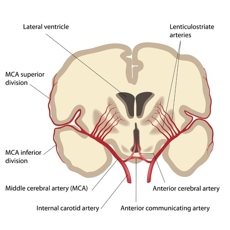 Middle cerebral artery and branches Vector