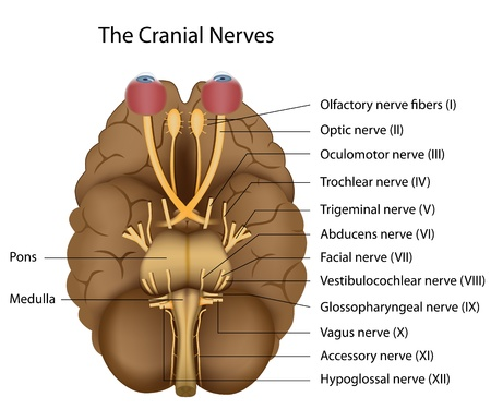 The 12 cranial nerves Vector