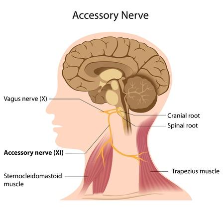 trapezius: Accesorio del nervio