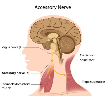 head and shoulders: Accessory nerve