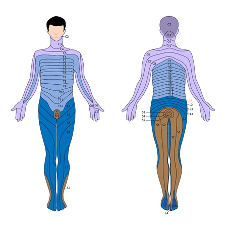 anatomia humana: Dermatoma Vectores