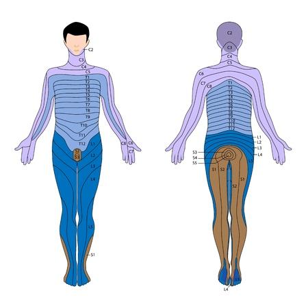 Dermatome Vector