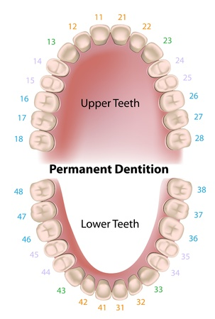 cementum: Dental notation permanent teeth
