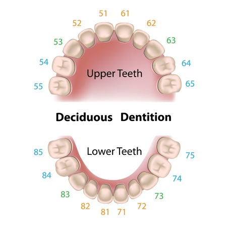 Dental notation milk teeth Illustration