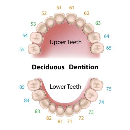 Dentales los dientes de leche de notación