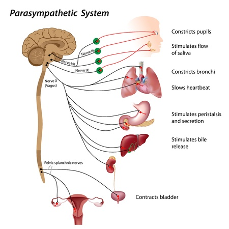 anatomy brain: Parasympathetic pathway of the ANS Illustration