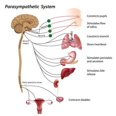sistema nervioso central: Vía parasimpática del SNA