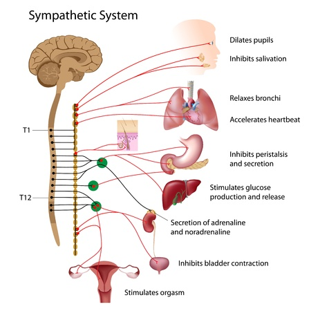 sympathetic: Sympathetic pathway of the ANS