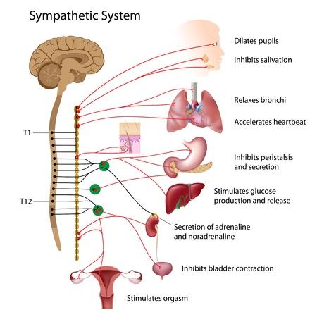 hormonen: Sympathische route van de ANS