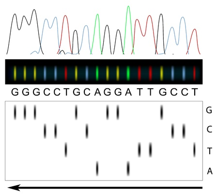 electrophoresis: DNA sequencing principle