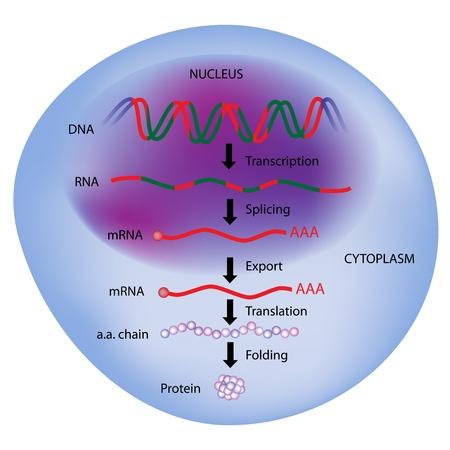 La expresión de genes, el dogma central de la biología molecular Ilustración de vector