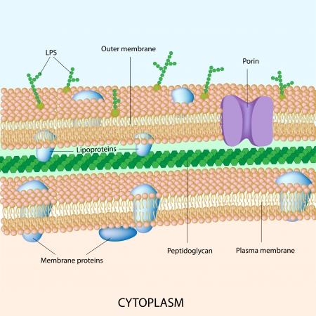 グラム陰性の細菌の細胞壁