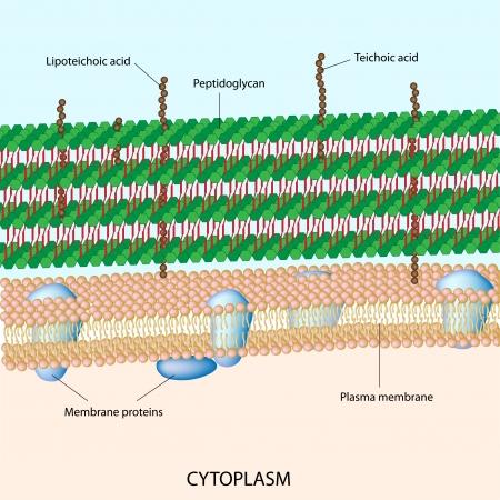 그람 양성 세균의 세포벽 일러스트