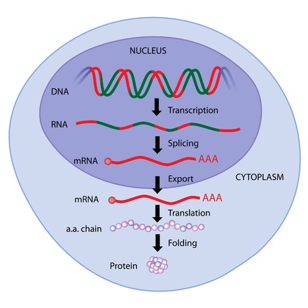 dogma: Gene expression Illustration