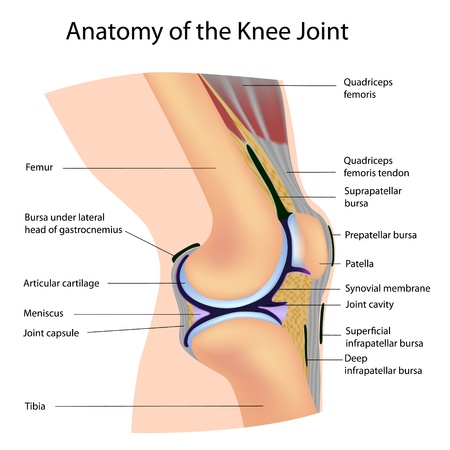 Anatomy of the knee joint, labelled