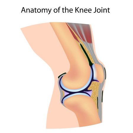 medical study: Anatomia del ginocchio Vettoriali