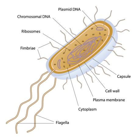 Aufbau einer Bakterienzelle, Standard-Bild - 14458593