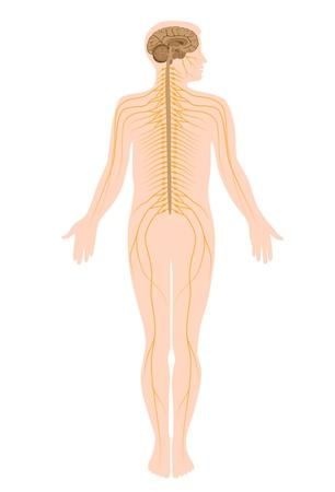 척수: 신경계 일러스트