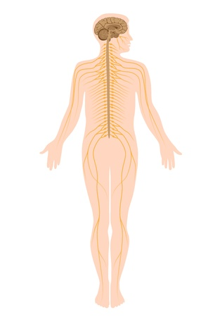 nervenzelle: Das Nervensystem