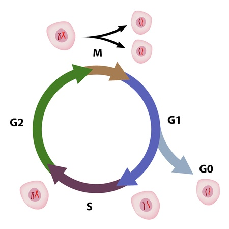 cell growth: Cell cycle