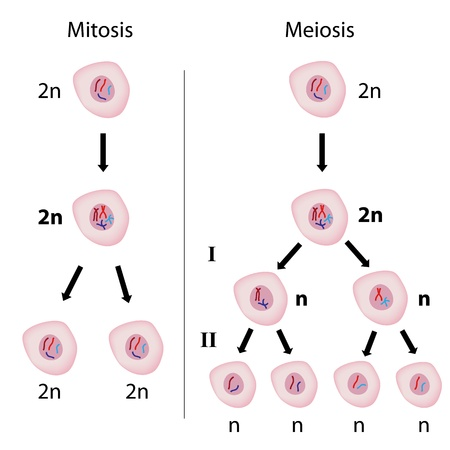 Mitosis versus meiosis Stock Illustratie