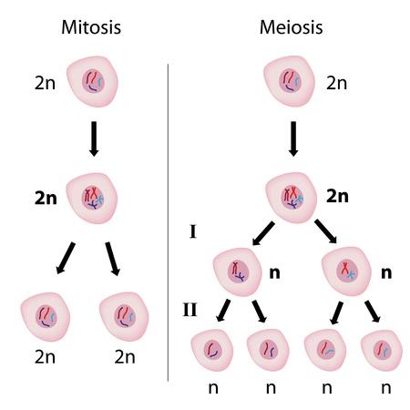 Mitosis versus meiosis Vectores