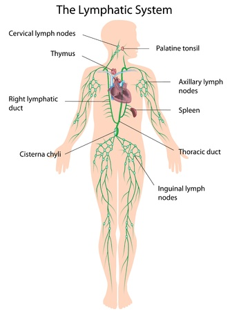 human immune system: The lymphatic system labeled