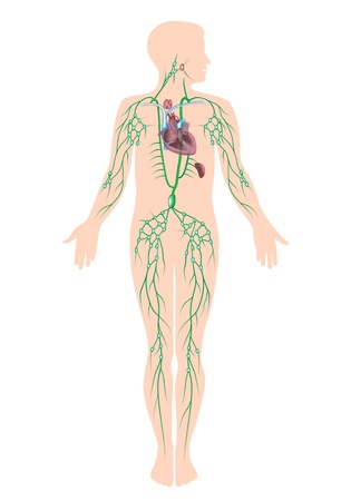 The lymphatic system Vector