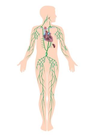 klatki piersiowej: Układ limfatyczny