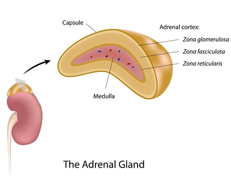 The adrenal gland Vector