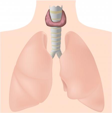 isthmus: Thyroid gland