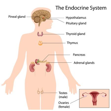 hormonen: Het endocriene systeem Stock Illustratie