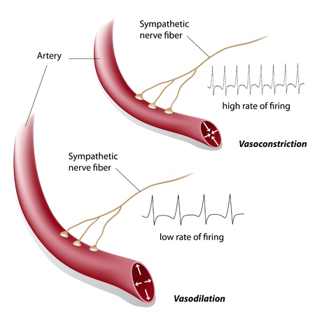 sympathetic: Vasoconstriction and vasodilation control