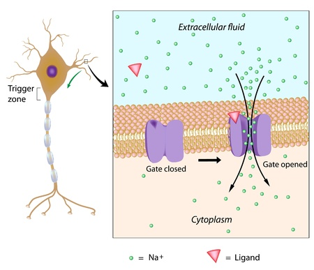 Neuron and local potential Illustration
