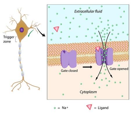 membrane cellulaire: Neuron et le potentiel local Illustration