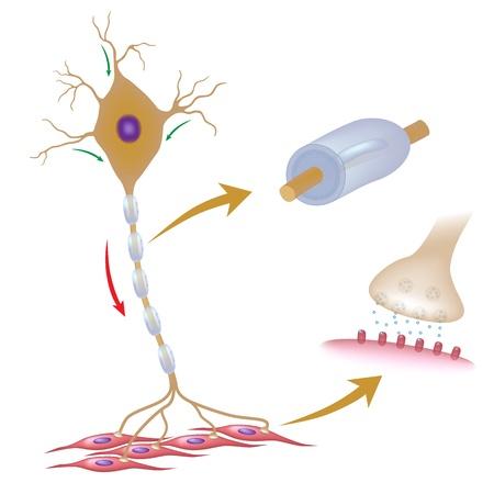 De la neurona motora con los detalles de la mielina y la sinapsis