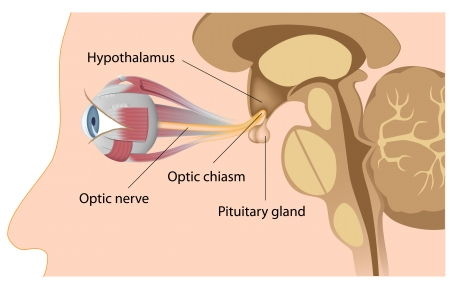 Pituitary gland and optic chiasm Иллюстрация