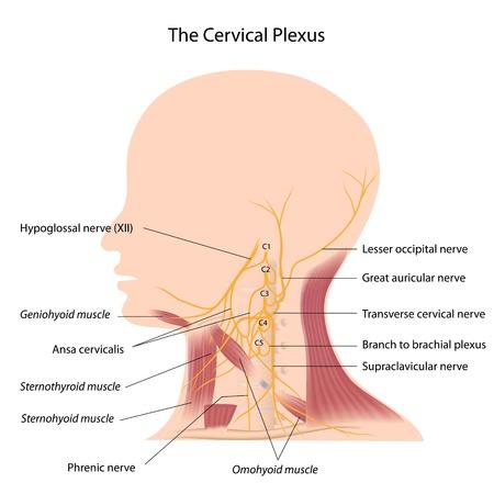 척수: 자궁 경부 신경 얼기 일러스트