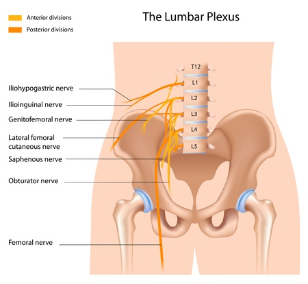 The lumbar plexus Vector