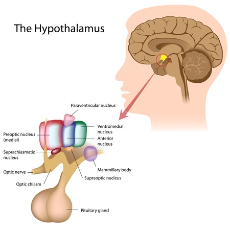 pituitary gland: The nuclei of the hypothalamus