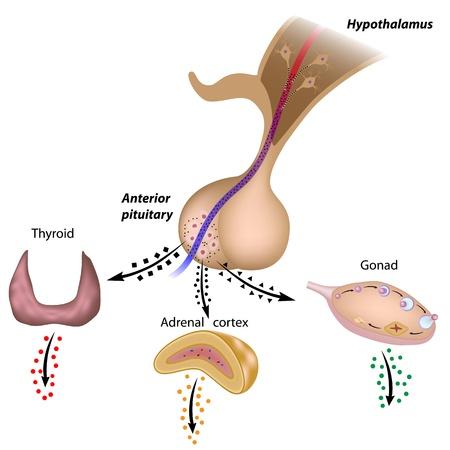hormonas: Los ejes hipotalámicas