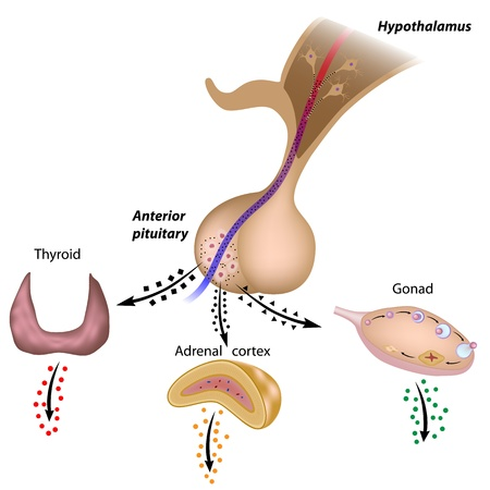 pituitary gland: The hypothalamic pituitary axes Illustration