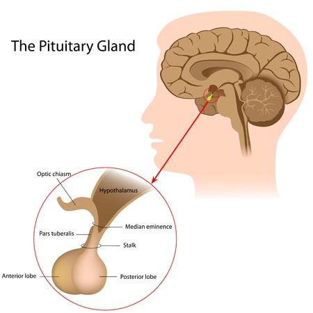 Hypophyse Zum Hypothalamus über Einen Stiel, Infundibulum Verbunden ...