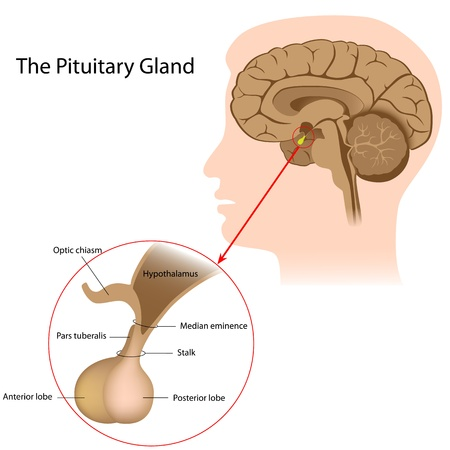 The pituitary gland Иллюстрация