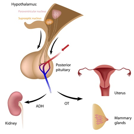 Posterior pituitary hormone functions Illustration