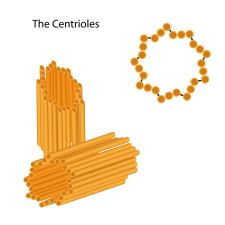 Structure of the centrioles Vector