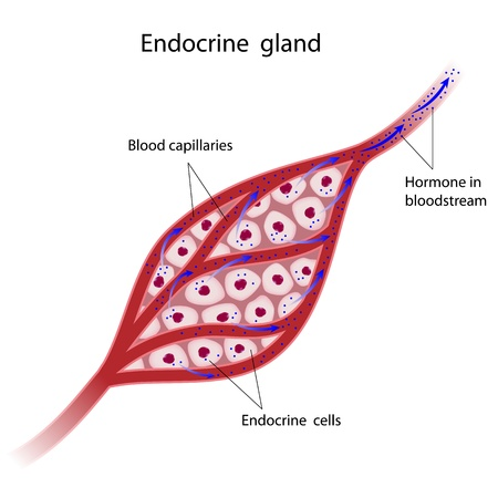 bloodstream: Endocrine glands cells Illustration
